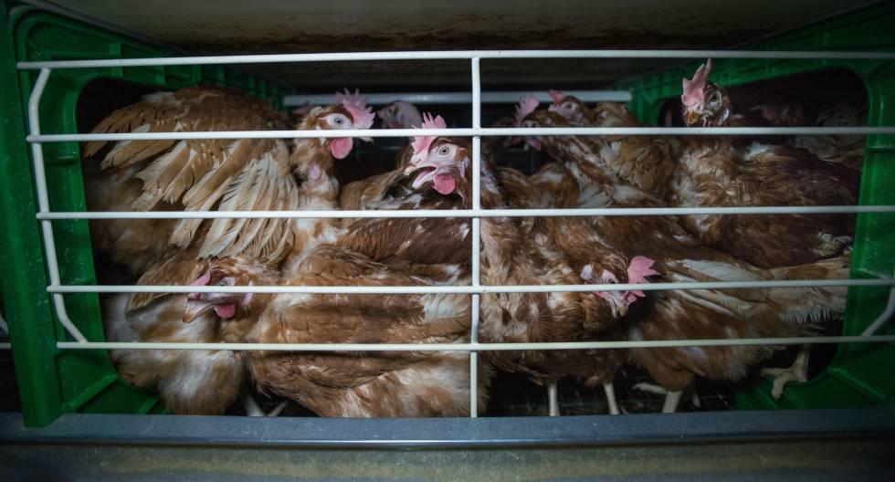 Una jaula de gallinas ponedoras en España.