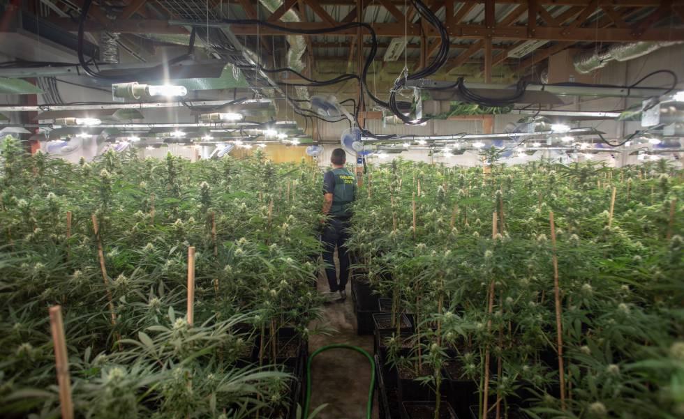interior-triplica-sus-trituradoras-de-marihuana-por-el-alza-de-incautaciones