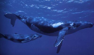 Ballena azul reproduccion asexual en