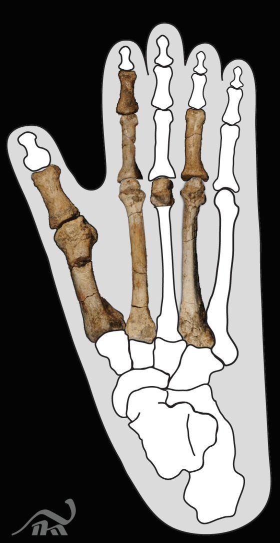 Un pie fósil de hace 3,4 millones de años sorprende a los ...