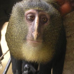 Un ejemplar adulto del nuevo mono africano lesula ('C. Lomamiensis'). / HART JA/DETWILER KM/GILBERT CC/BURELL AS/FULLER JL ET AL.