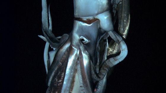 El calamar gigante, filmado por primera vez en el fondo del mar