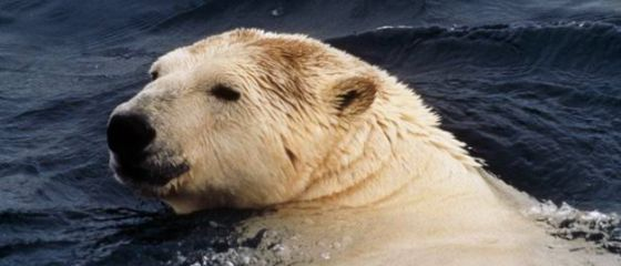 Un oso polar en el documental La isla de Southampton emitido en National Geographic.