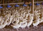 La justicia de EE UU ratifica la prohibición del 'foie gras' en California