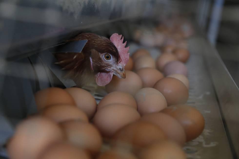 Cómo identificar el sexo de los pollos en el huevo para evitar su ...