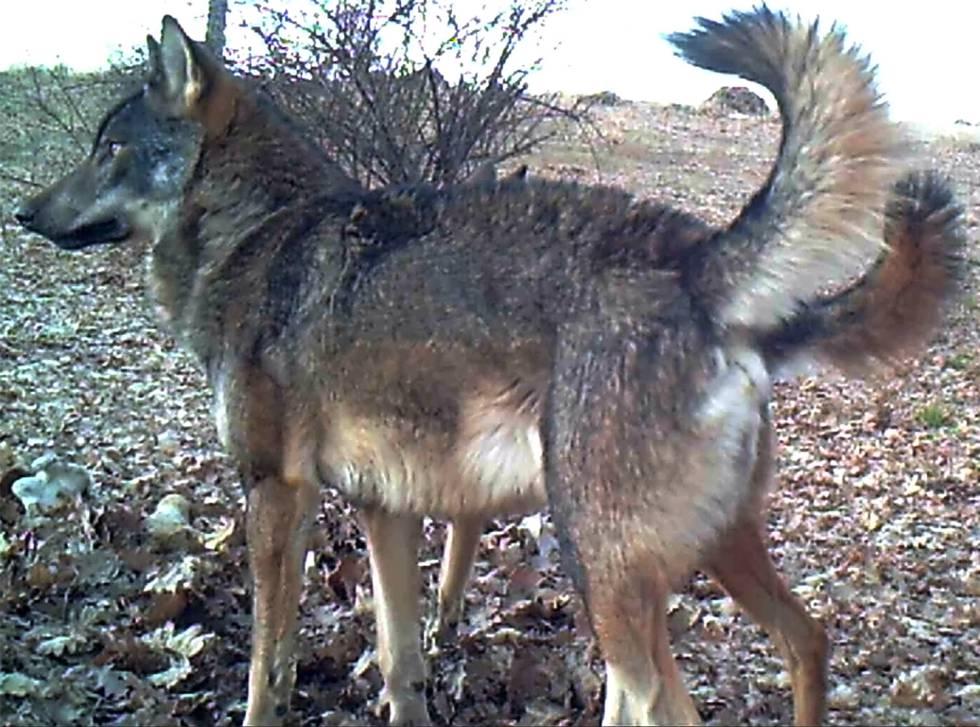 Una loba de la población de Madrid.