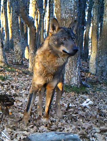 Cinco manadas de lobos son ya madrileñas de pura cepa