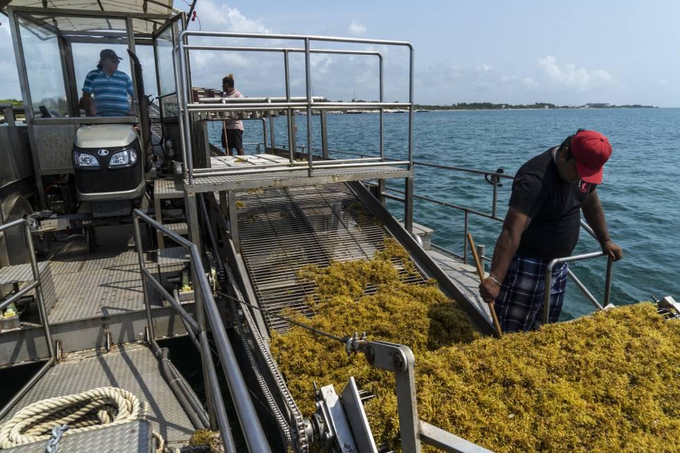 Mitad tractor, mitad barco sargacero, el Ruffo I recoge sargazo en las aguas de Puerto Morelos.