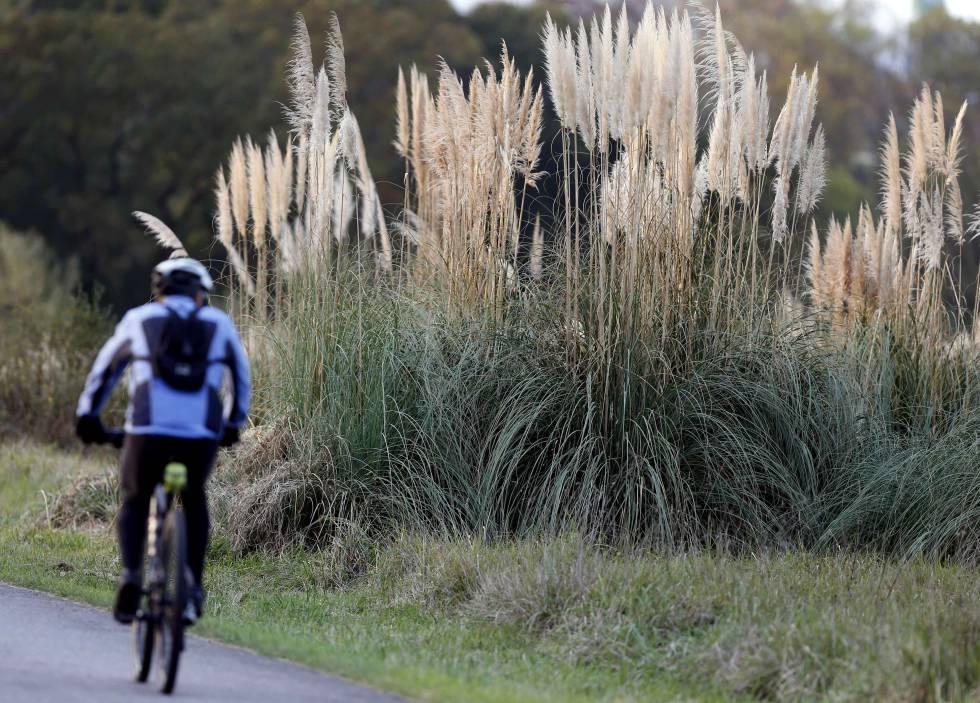 Un ciclista pasa por una zona con plumeros de la pampa en las inmediaciones de Oviedo.