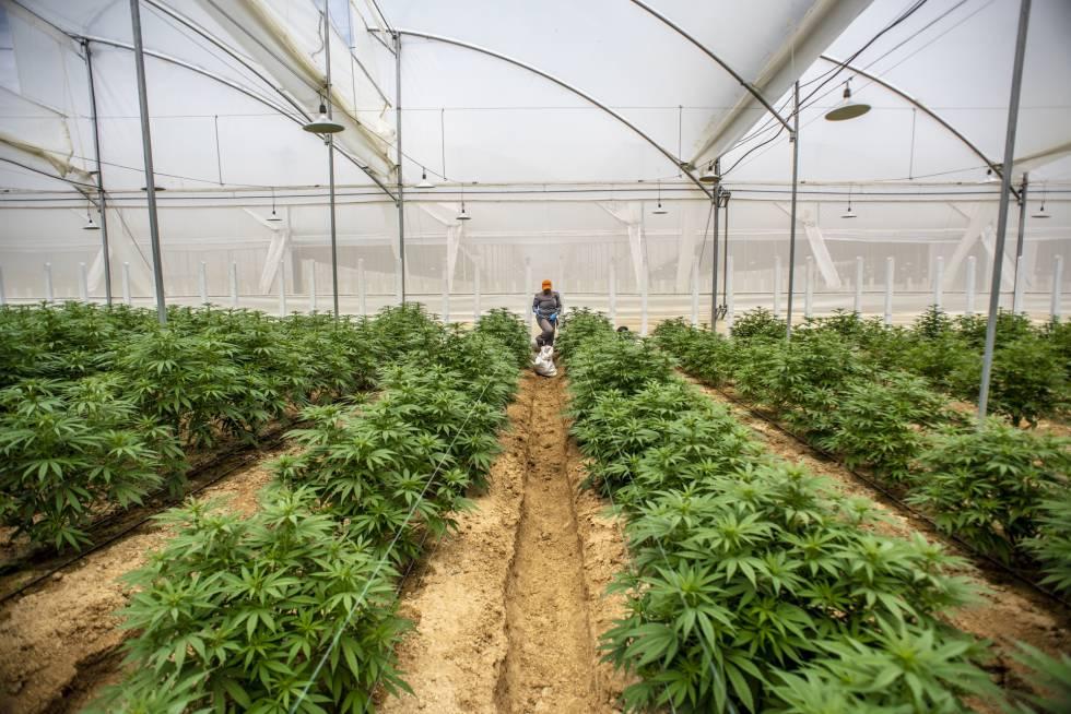 la-industria-del-cannabis-medicinal-florece-en-colombia