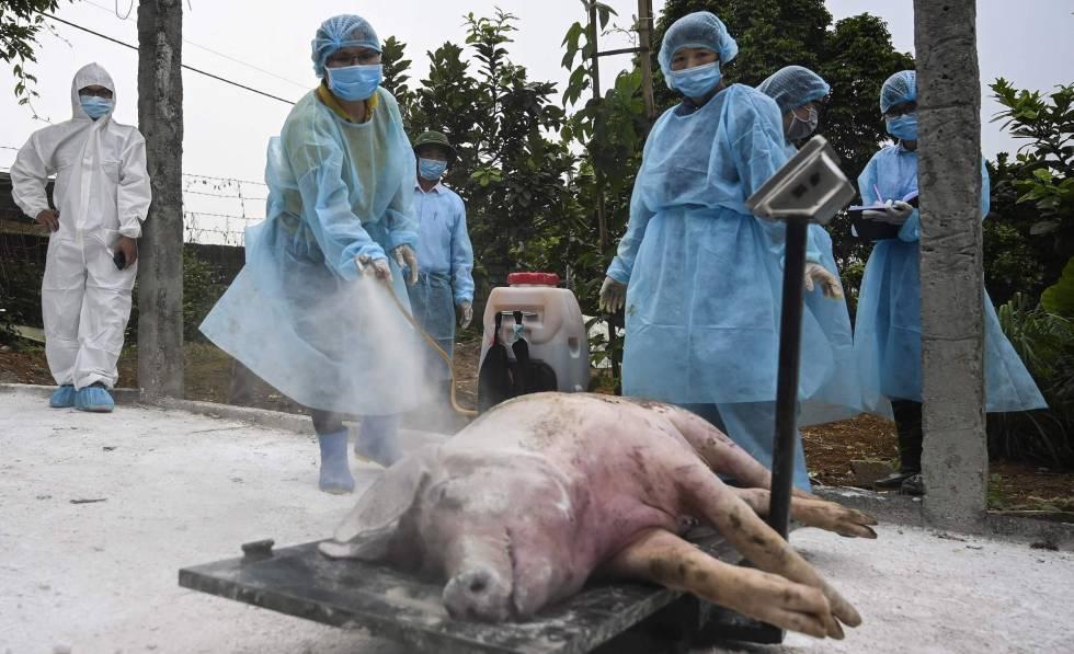 Asia intenta contener la peste porcina, que ya ha obligado a ...