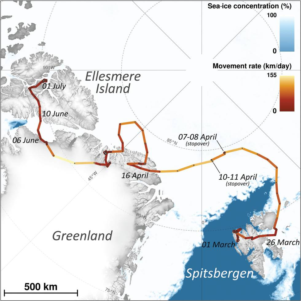 La ruta seguida por la zorra ártica.