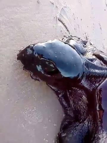 Una tortuga cubierta de crudo en una playa de Alcantara, Maranhao, el 22 de septiembre en una foto tomada de las redes sociales.