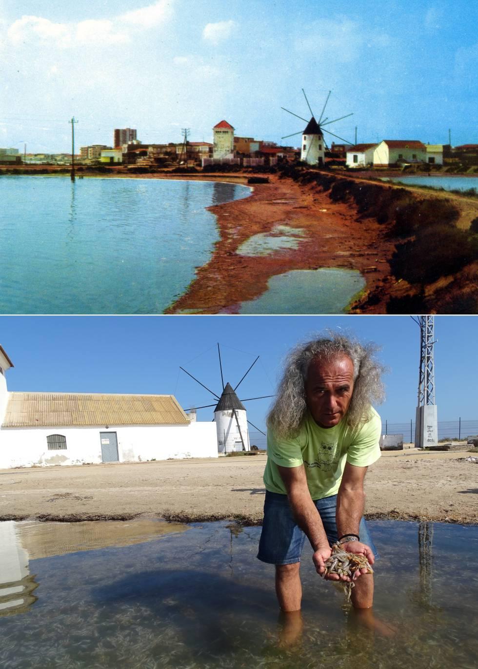 Arriba, molino en la costa del Mar Menor de San Pedro del Pinatar en una postal de los años setenta. Abajo, Pedro García, director de la Asociación de Naturalistas del Sureste, muestra algunos de los miles de peces que aparecieron muertos en el mismo punto el pasado 13 de octubre.
