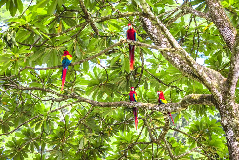 Guacamayas en libertad dentro de la Reserva De Montes Azules