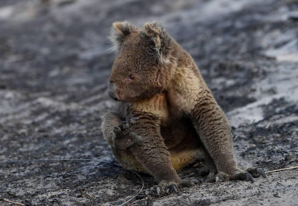 Un koala en la calcinada Isla Canguro.