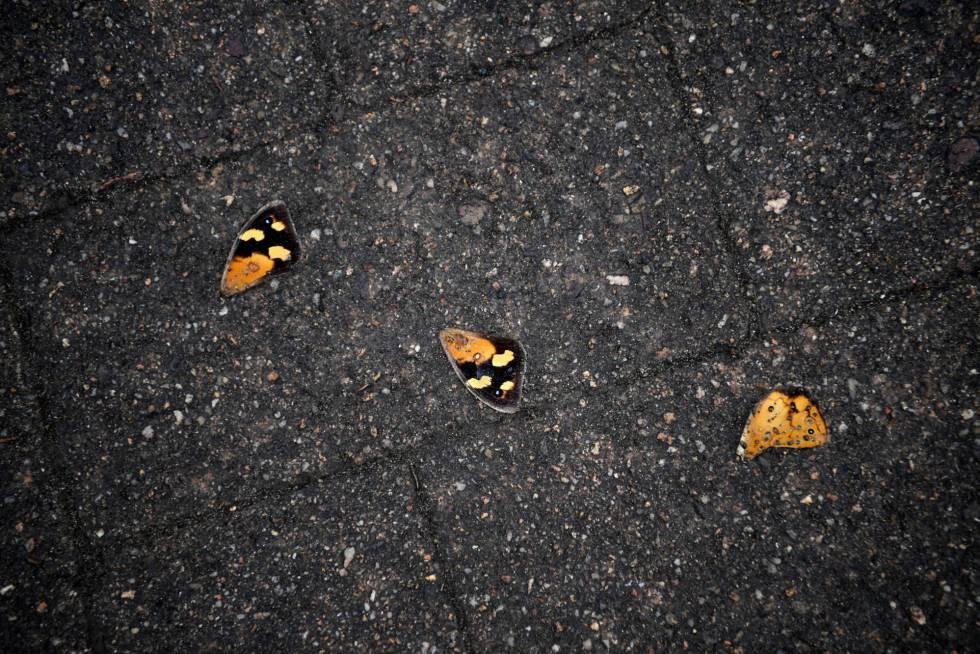 Mariposas muertas en Nueva Gales.