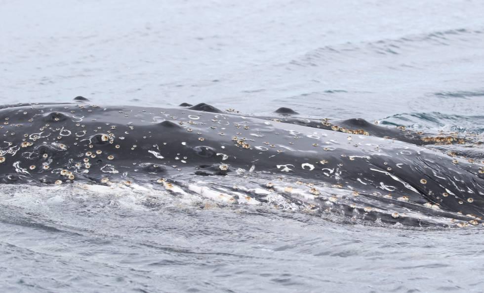 Una ballena jorobada, vista desde el Arctic Sunrise.