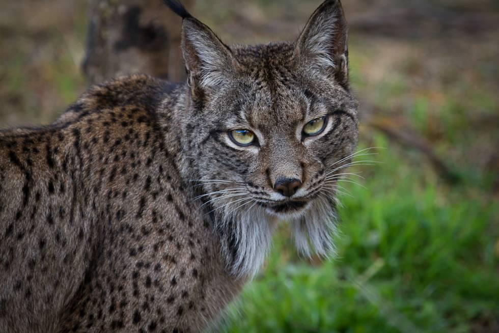 Félix , un macho reproductor nacido en El Acebuche, es hijo de Aliga y Cromo . Sus padres son ejemplares fundadores extraídos de la población silvestre.