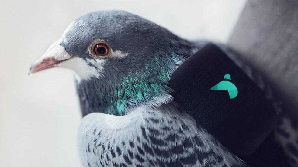 Una 'patrulla' de palomas ayuda a medir la contaminación atmosférica en Londres