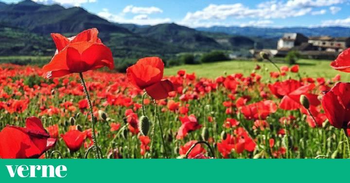 La Amapola La Flor Que Molesta A Los Agricultores Y Que Adoran Las