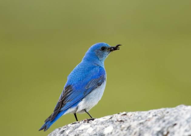 Azulejo de montaña, el pajaro que inspiró a Twitter